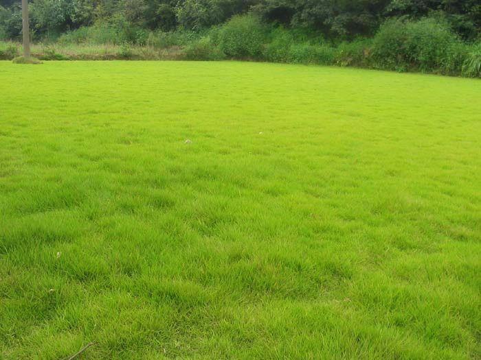 天津草坪:草坪种植分块繁殖技术